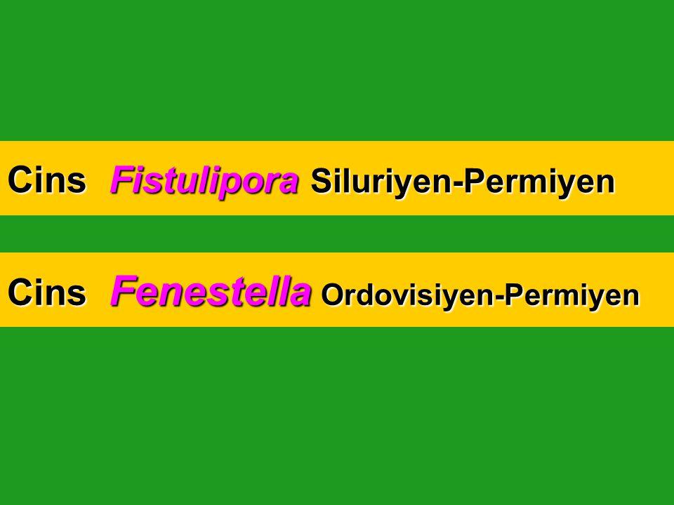 Cins Fistulipora Siluriyen-Permiyen Cins Fenestella Ordovisiyen-Permiyen