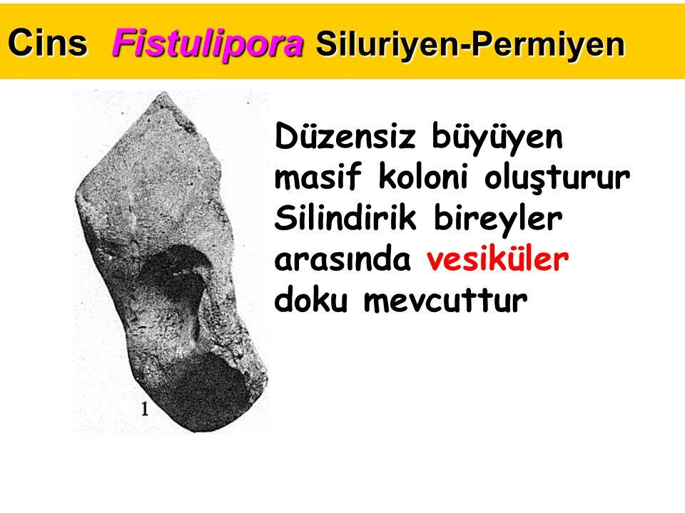Cins Fistulipora Siluriyen-Permiyen Düzensiz büyüyen masif koloni oluşturur Silindirik bireyler arasında vesiküler doku mevcuttur