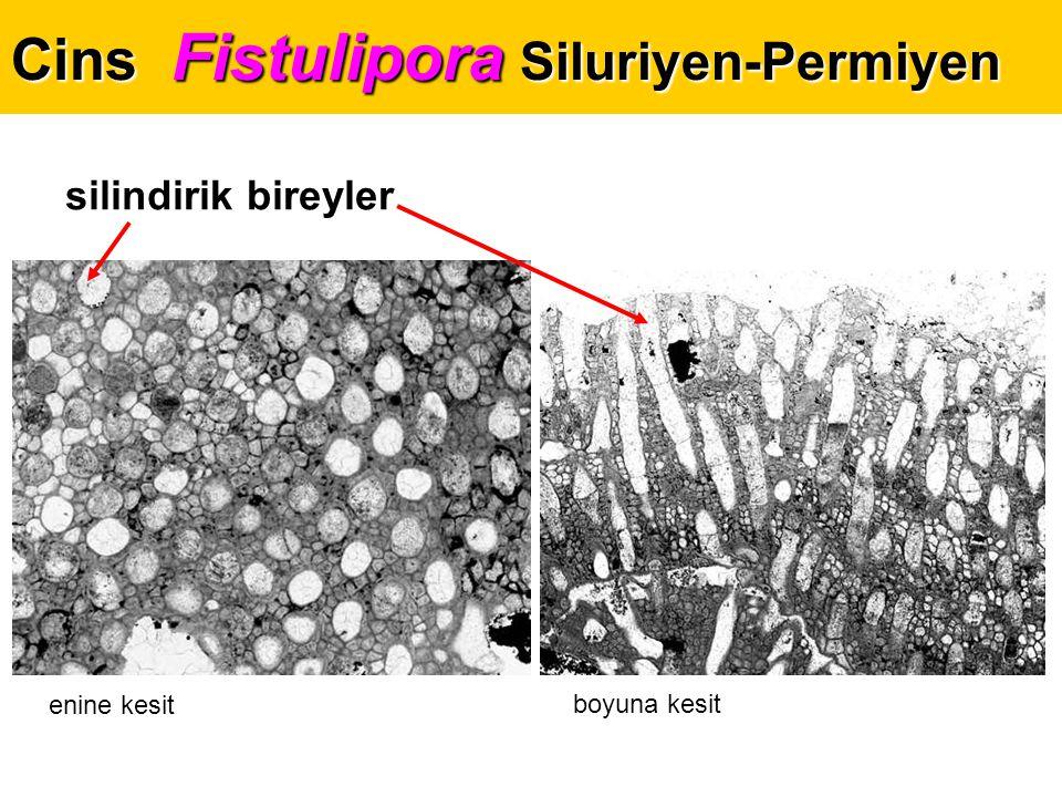 Cins Fistulipora Siluriyen-Permiyen silindirik bireyler enine kesit boyuna kesit