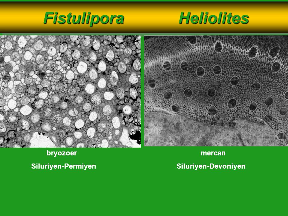 Fistulipora Heliolites Fistulipora Heliolites bryozoermercan Siluriyen-PermiyenSiluriyen-Devoniyen