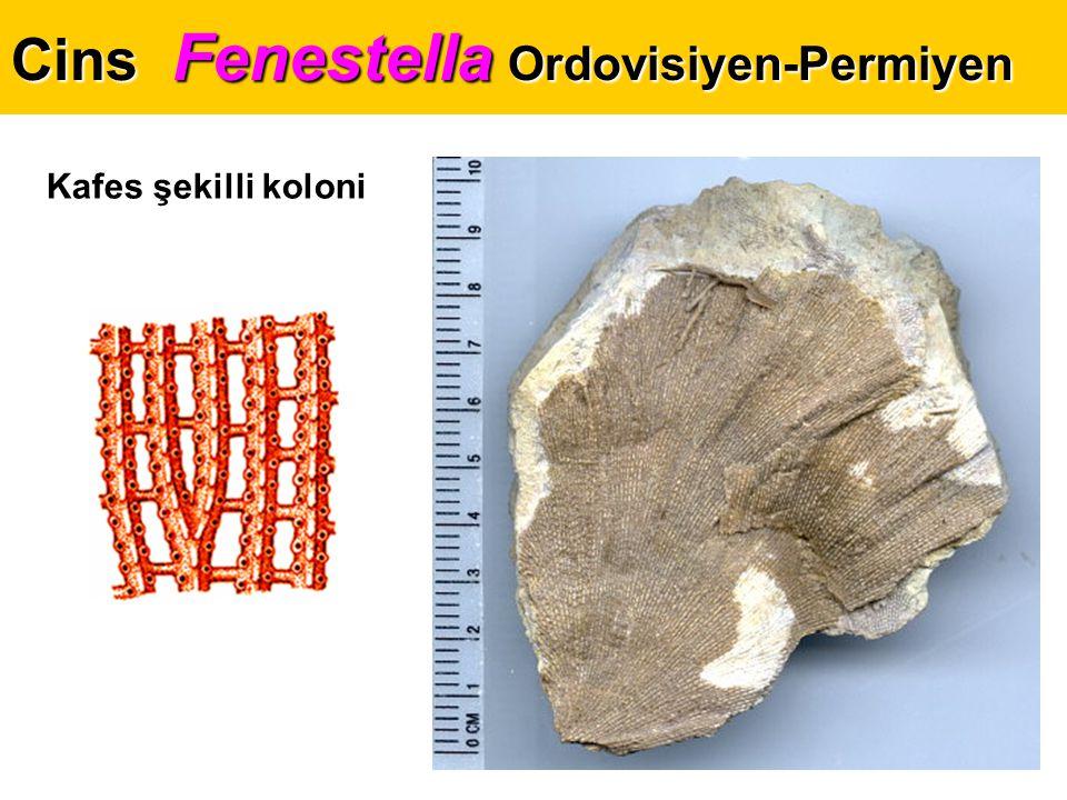 Cins Fenestella Ordovisiyen-Permiyen Kafes şekilli koloni