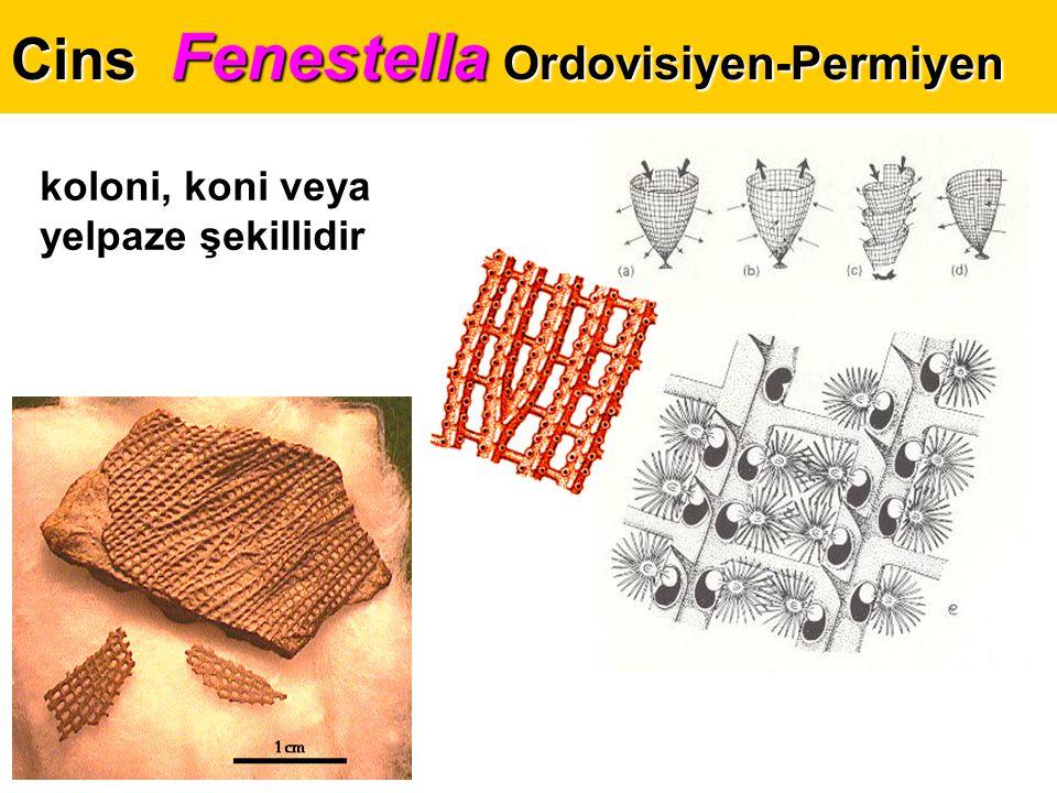 Cins Fenestella Ordovisiyen-Permiyen koloni, koni veya yelpaze şekillidir
