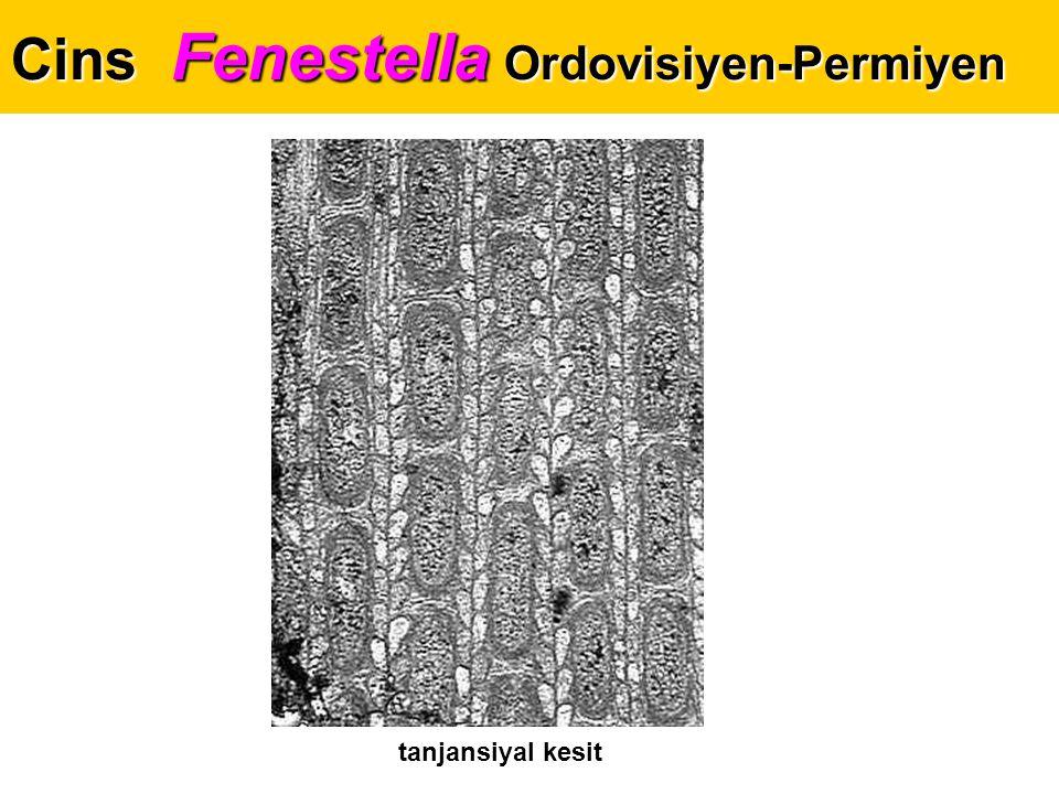Cins Fenestella Ordovisiyen-Permiyen tanjansiyal kesit