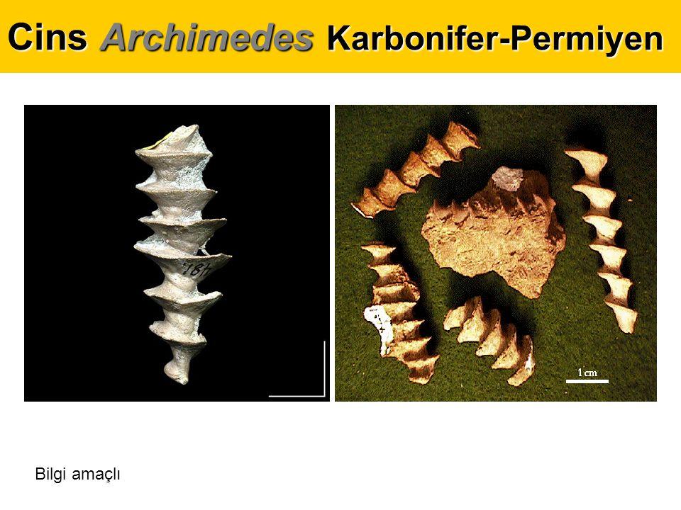 Cins Archimedes Karbonifer-Permiyen enine kesit Bilgi amaçlı