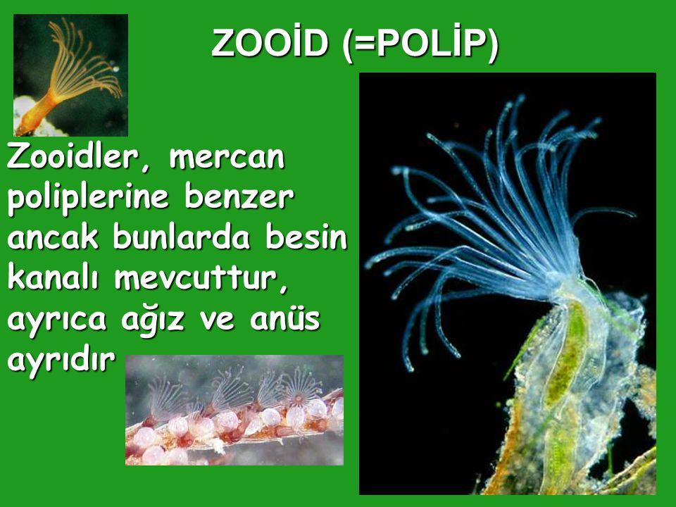 ZOOİD (=POLİP) Zooidler, mercan poliplerine benzer ancak bunlarda besin kanalı mevcuttur, ayrıca ağız ve anüs ayrıdır