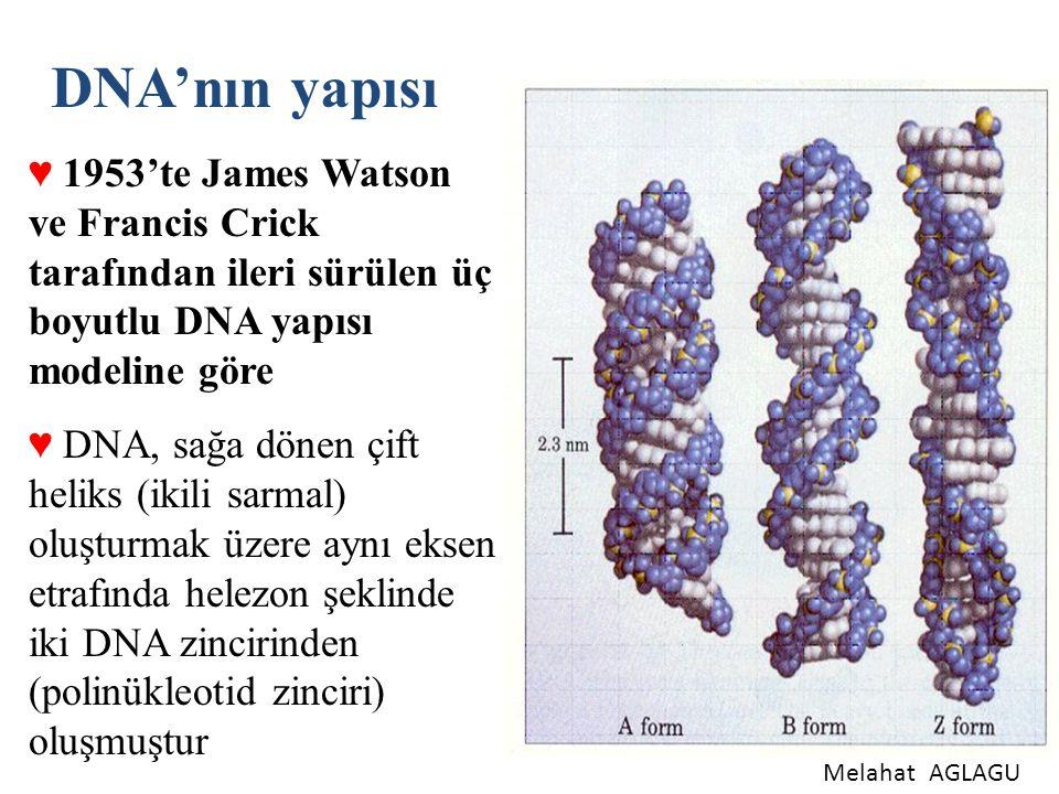 DNA'nın yapısı ♥ 1953'te James Watson ve Francis Crick tarafından ileri sürülen üç boyutlu DNA yapısı modeline göre ♥ DNA, sağa dönen çift heliks (iki