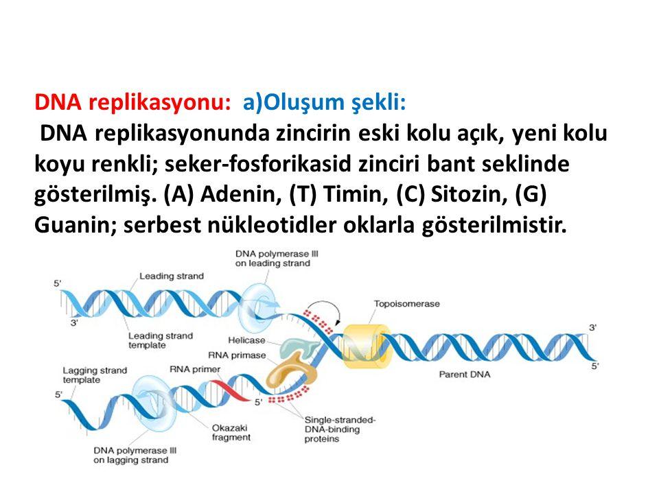 DNA replikasyonu: a)Oluşum şekli: DNA replikasyonunda zincirin eski kolu açık, yeni kolu koyu renkli; seker-fosforikasid zinciri bant seklinde gösteri