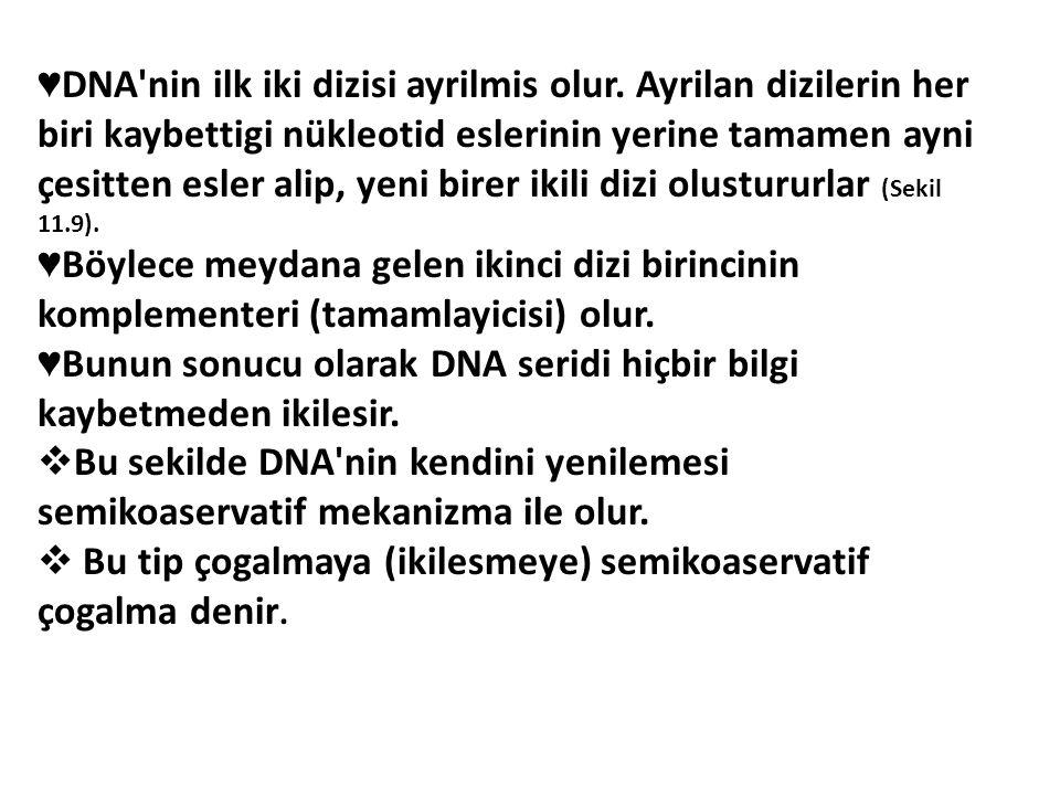 ♥ DNA'nin ilk iki dizisi ayrilmis olur. Ayrilan dizilerin her biri kaybettigi nükleotid eslerinin yerine tamamen ayni çesitten esler alip, yeni birer