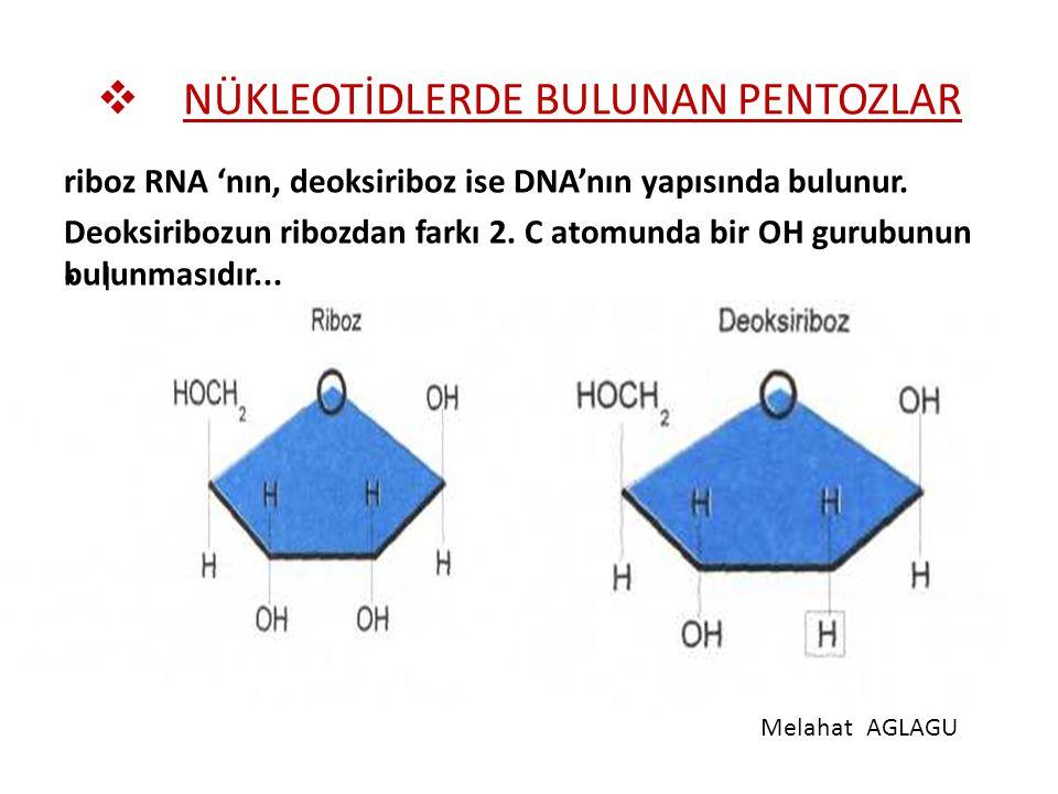  NÜKLEOTİDLERDE BULUNAN PENTOZLAR riboz RNA 'nın, deoksiriboz ise DNA'nın yapısında bulunur. Deoksiribozun ribozdan farkı 2. C atomunda bir OH gurubu