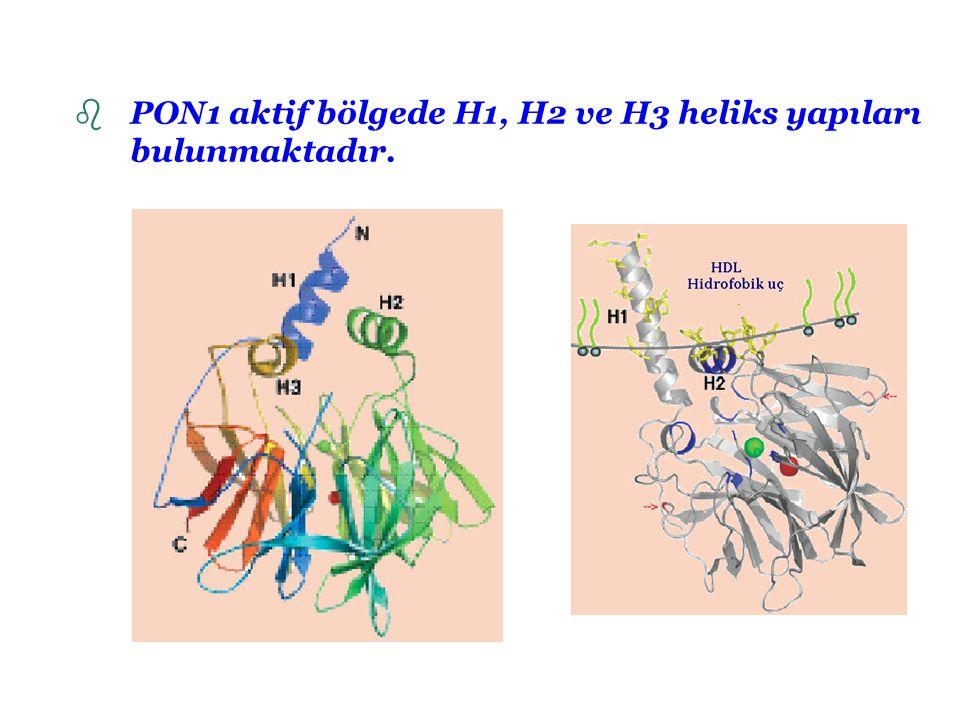HDL'ye Bağlanması apoA-1 apoA-2 Fosfolipitler ve serbest kolestrol Trigliserit ve kolestrol esterleri HDL