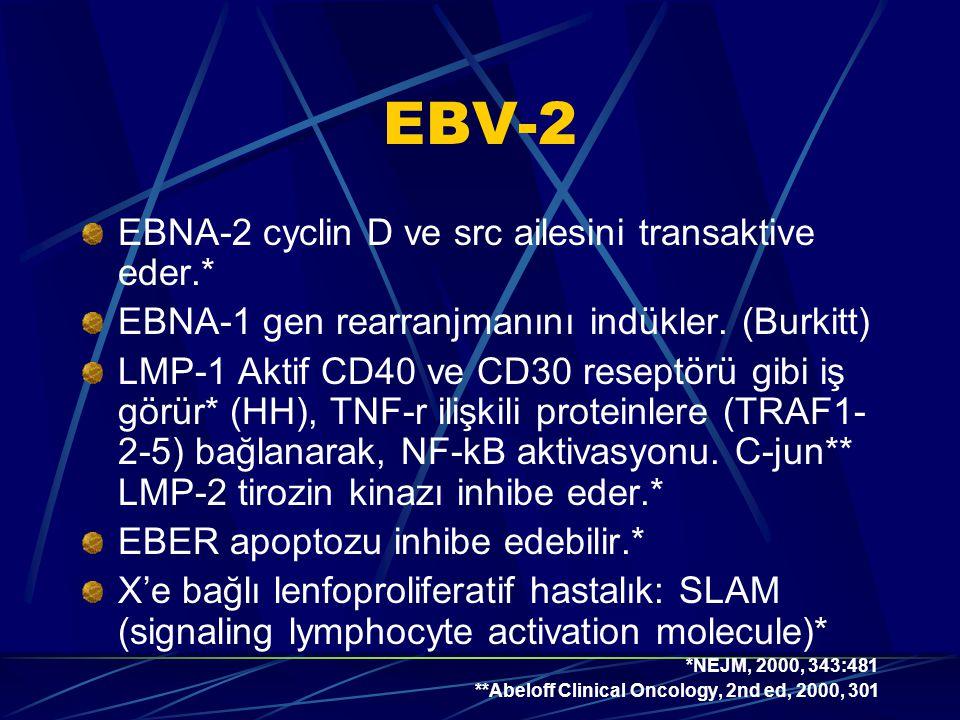 EBV-2 EBNA-2 cyclin D ve src ailesini transaktive eder.* EBNA-1 gen rearranjmanını indükler.