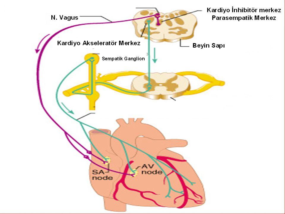 10 Sinoatrial Node Atrioventriküler Node Kalbin İleti Sistemi