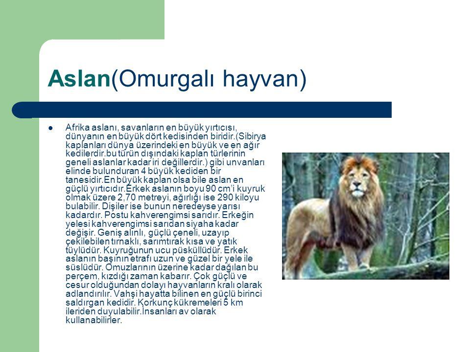 Aslan(Omurgalı hayvan) Afrika aslanı, savanların en büyük yırtıcısı, dünyanın en büyük dört kedisinden biridir.(Sibirya kaplanları dünya üzerindeki en