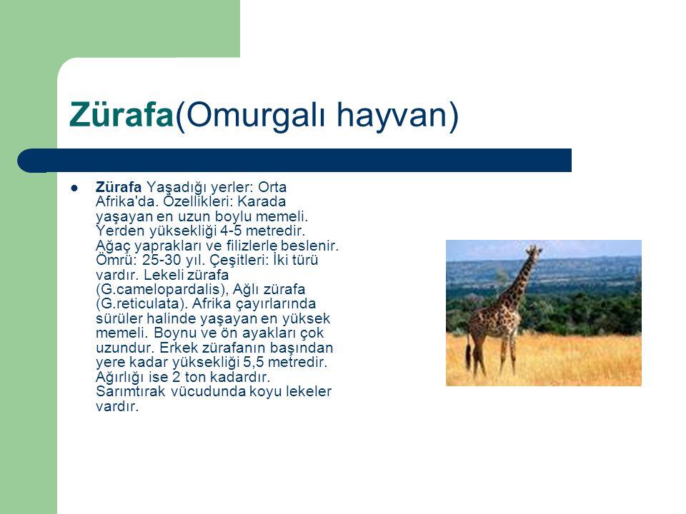 Zürafa(Omurgalı hayvan) Zürafa Yaşadığı yerler: Orta Afrika'da. Özellikleri: Karada yaşayan en uzun boylu memeli. Yerden yüksekliği 4-5 metredir. Ağaç