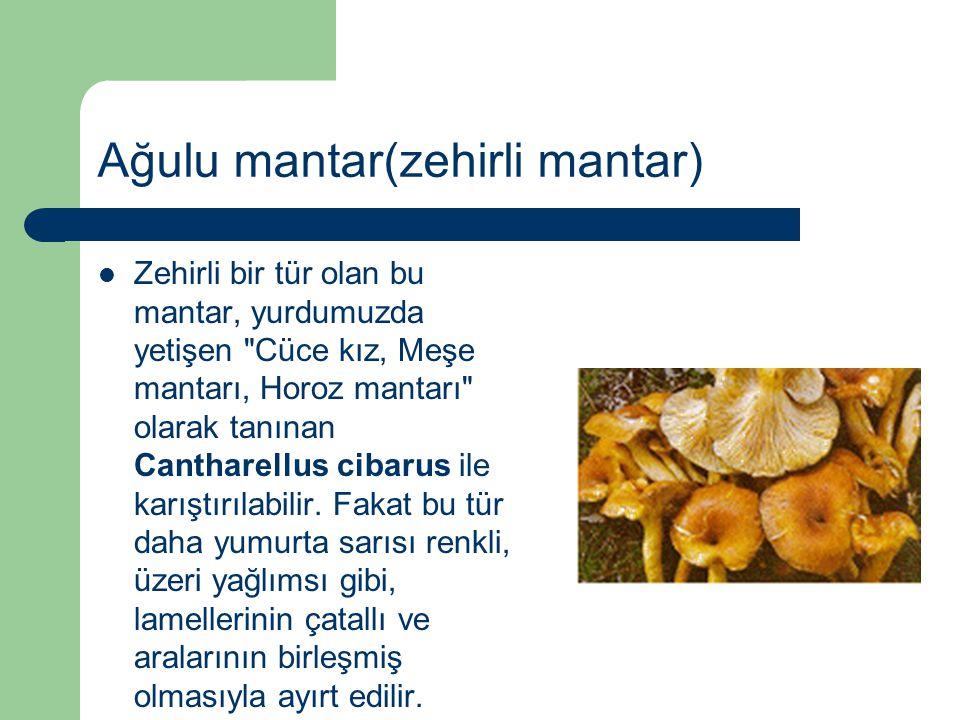 Ağulu mantar(zehirli mantar) Zehirli bir tür olan bu mantar, yurdumuzda yetişen