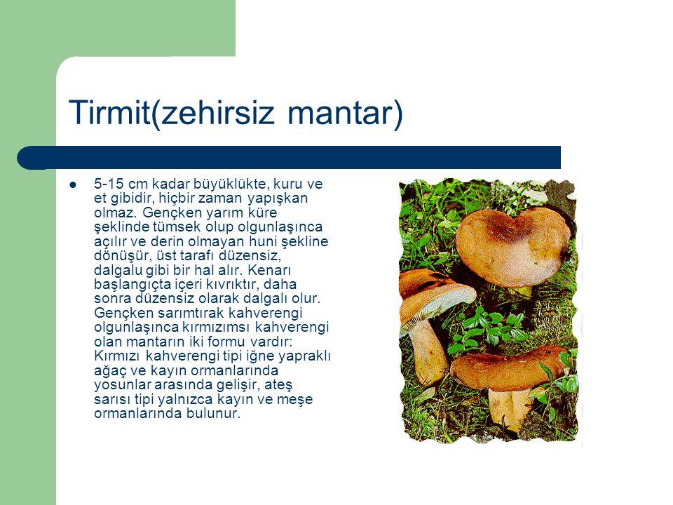 Tirmit(zehirsiz mantar) 5-15 cm kadar büyüklükte, kuru ve et gibidir, hiçbir zaman yapışkan olmaz. Gençken yarım küre şeklinde tümsek olup olgunlaşınc