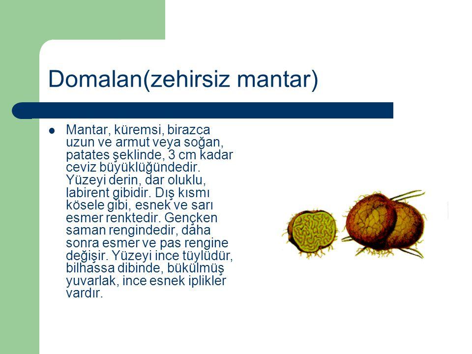 Domalan(zehirsiz mantar) Mantar, küremsi, birazca uzun ve armut veya soğan, patates şeklinde, 3 cm kadar ceviz büyüklüğündedir. Yüzeyi derin, dar oluk