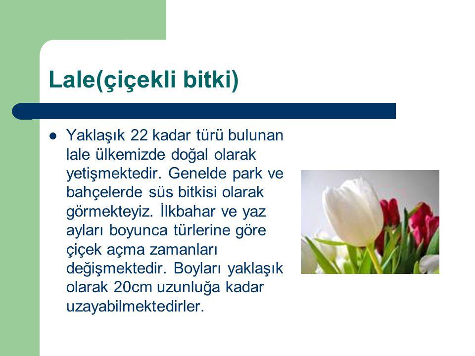 Lale(çiçekli bitki) Yaklaşık 22 kadar türü bulunan lale ülkemizde doğal olarak yetişmektedir. Genelde park ve bahçelerde süs bitkisi olarak görmekteyi