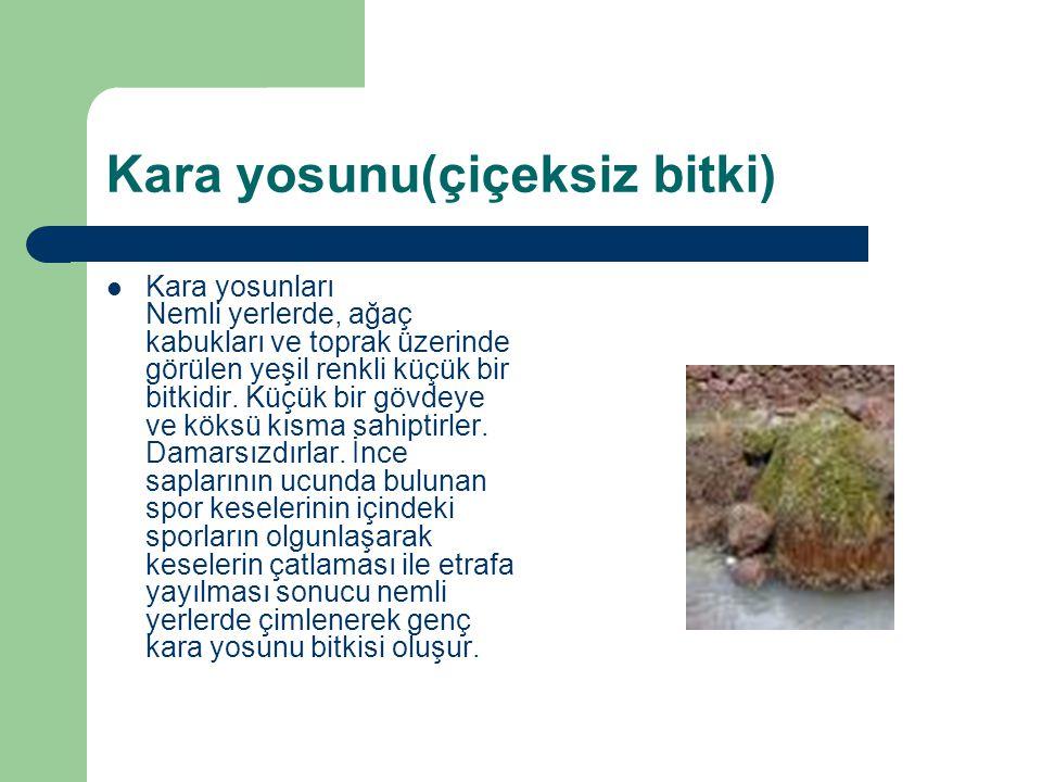 Kara yosunu(çiçeksiz bitki) Kara yosunları Nemli yerlerde, ağaç kabukları ve toprak üzerinde görülen yeşil renkli küçük bir bitkidir. Küçük bir gövdey