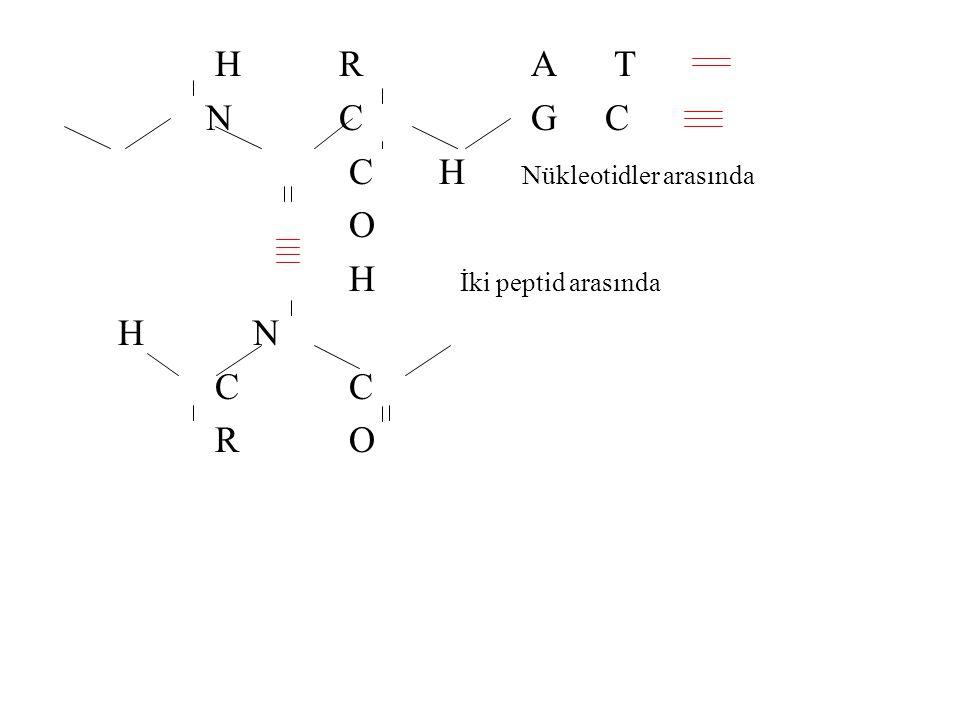 H R A T N C G C C H Nükleotidler arasında O H İki peptid arasında H N C C R O