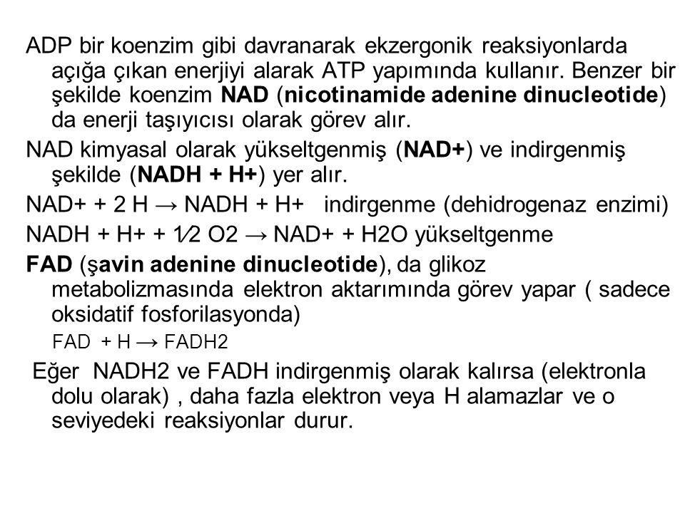 ADP bir koenzim gibi davranarak ekzergonik reaksiyonlarda açığa çıkan enerjiyi alarak ATP yapımında kullanır. Benzer bir şekilde koenzim NAD (nicotina