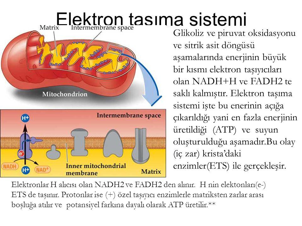 Elektron taşıma sistemi Glikoliz ve piruvat oksidasyonu ve sitrik asit döngüsü aşamalarında enerjinin büyük bir kısmı elektron taşıyıcıları olan NADH+
