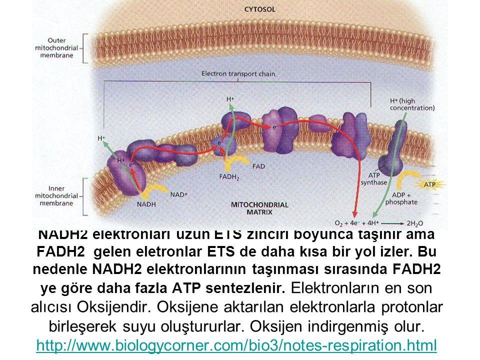NADH2 elektronları uzun ETS zinciri boyunca taşınır ama FADH2 gelen eletronlar ETS de daha kısa bir yol izler. Bu nedenle NADH2 elektronlarının taşınm