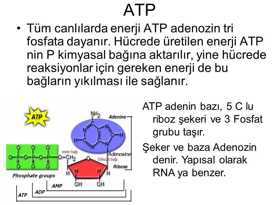 ATP Tüm canlılarda enerji ATP adenozin tri fosfata dayanır. Hücrede üretilen enerji ATP nin P kimyasal bağına aktarılır, yine hücrede reaksiyonlar içi