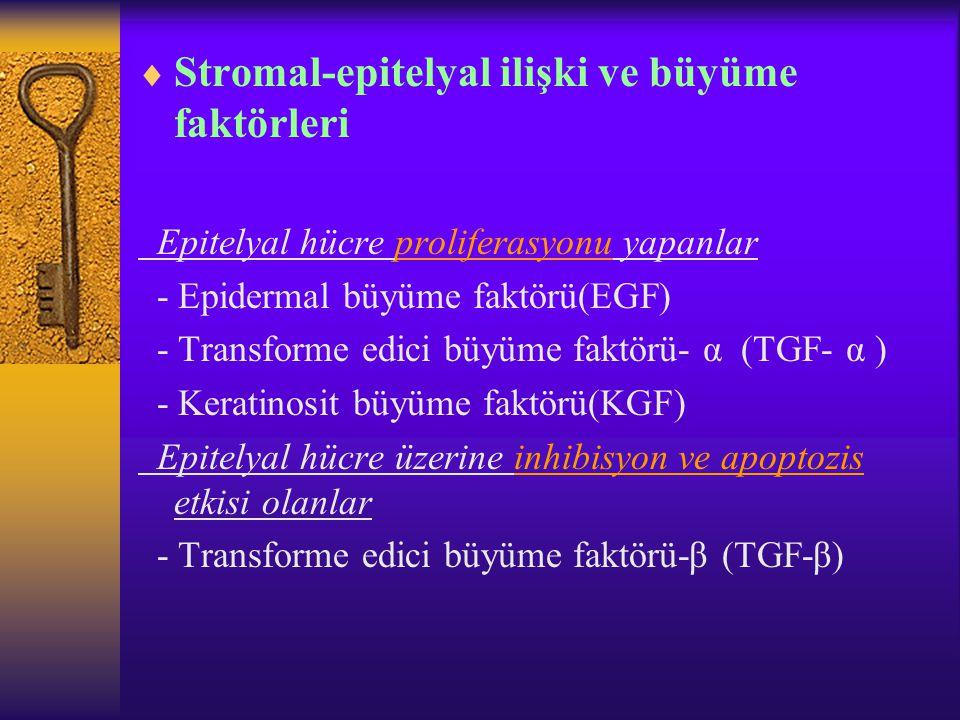  Stromal-epitelyal ilişki ve büyüme faktörleri Epitelyal hücre proliferasyonu yapanlar - Epidermal büyüme faktörü(EGF) - Transforme edici büyüme fakt