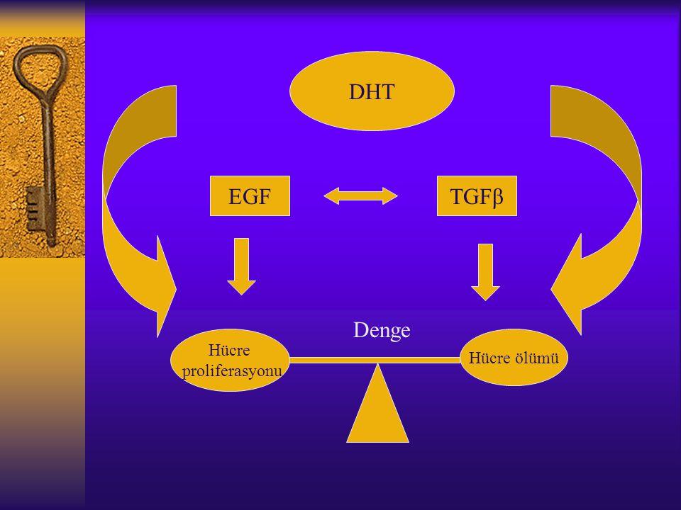 DHT EGFTGFβ Hücre proliferasyonu Hücre ölümü Denge