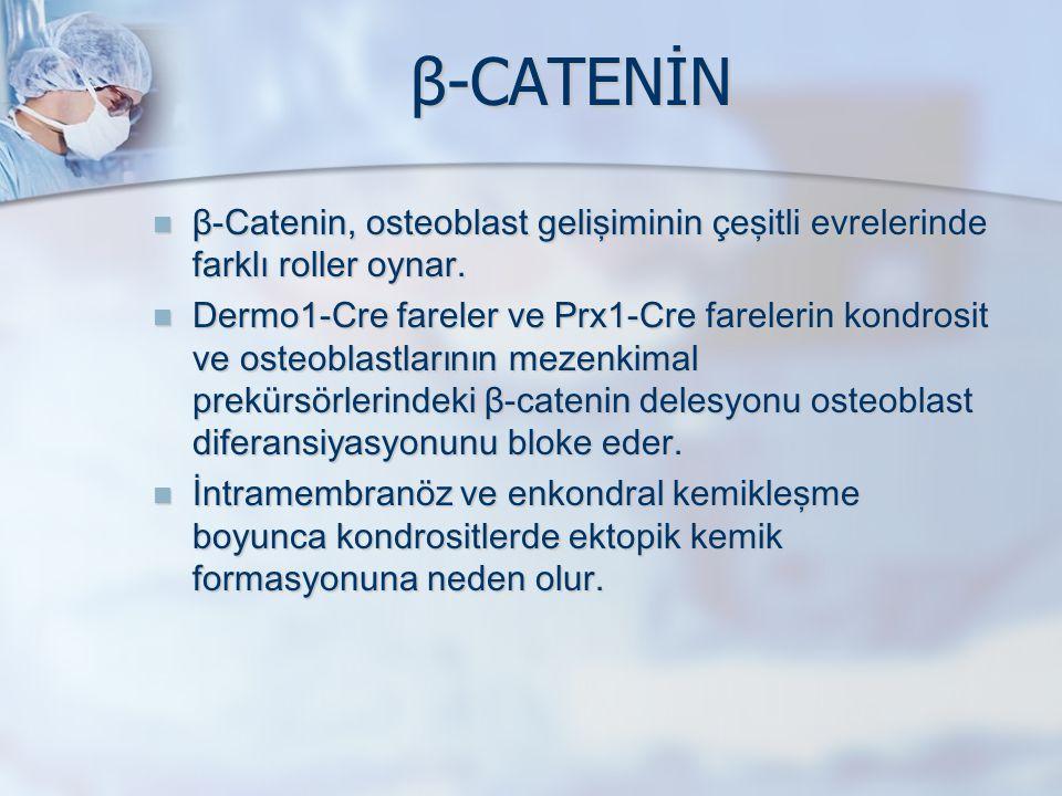 β-CATENİN β-Catenin, osteoblast gelişiminin çeşitli evrelerinde farklı roller oynar. β-Catenin, osteoblast gelişiminin çeşitli evrelerinde farklı roll