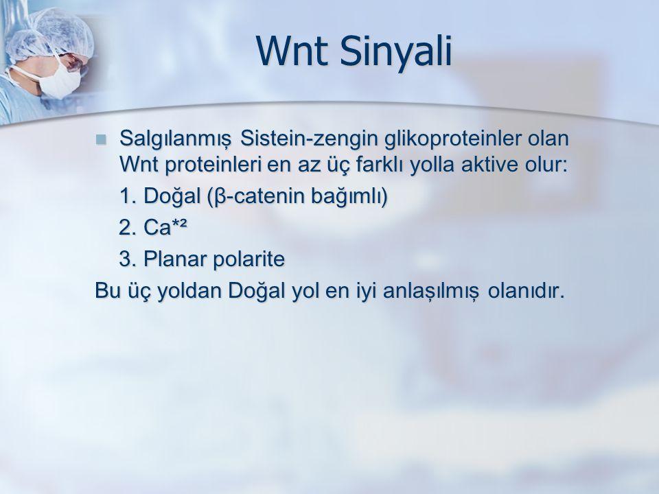Wnt Sinyali Salgılanmış Sistein-zengin glikoproteinler olan Wnt proteinleri en az üç farklı yolla aktive olur: Salgılanmış Sistein-zengin glikoproteinler olan Wnt proteinleri en az üç farklı yolla aktive olur: 1.
