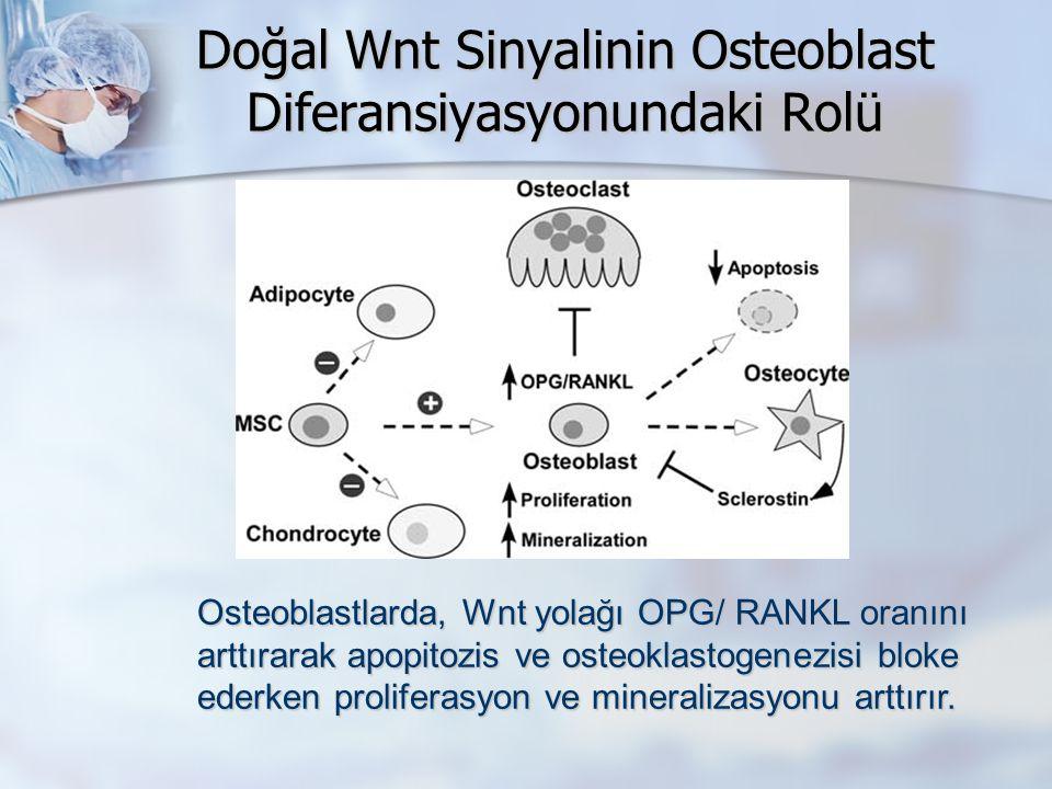 Doğal Wnt Sinyalinin Osteoblast Diferansiyasyonundaki Rolü Osteoblastlarda, Wnt yolağı OPG/ RANKL oranını arttırarak apopitozis ve osteoklastogenezisi bloke ederken proliferasyon ve mineralizasyonu arttırır.