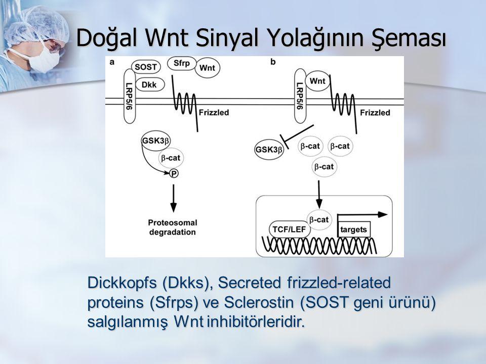 Doğal Wnt Sinyal Yolağının Şeması Wnt sinyalinin eksikliğinde β-catenin, glycogen sentaz kinaz 3β (GSK3β) ile fosforile edilerek proteozomal degradasyonu başlatır.