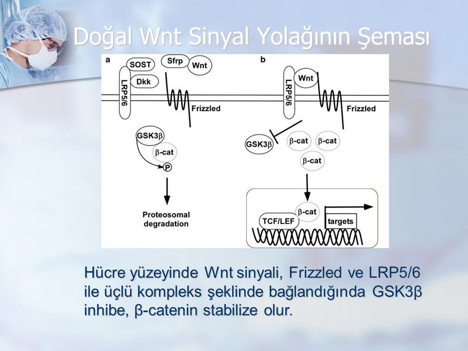 Doğal Wnt Sinyal Yolağının Şeması Hücre yüzeyinde Wnt sinyali, Frizzled ve LRP5/6 ile üçlü kompleks şeklinde bağlandığında GSK3β inhibe, β-catenin stabilize olur.