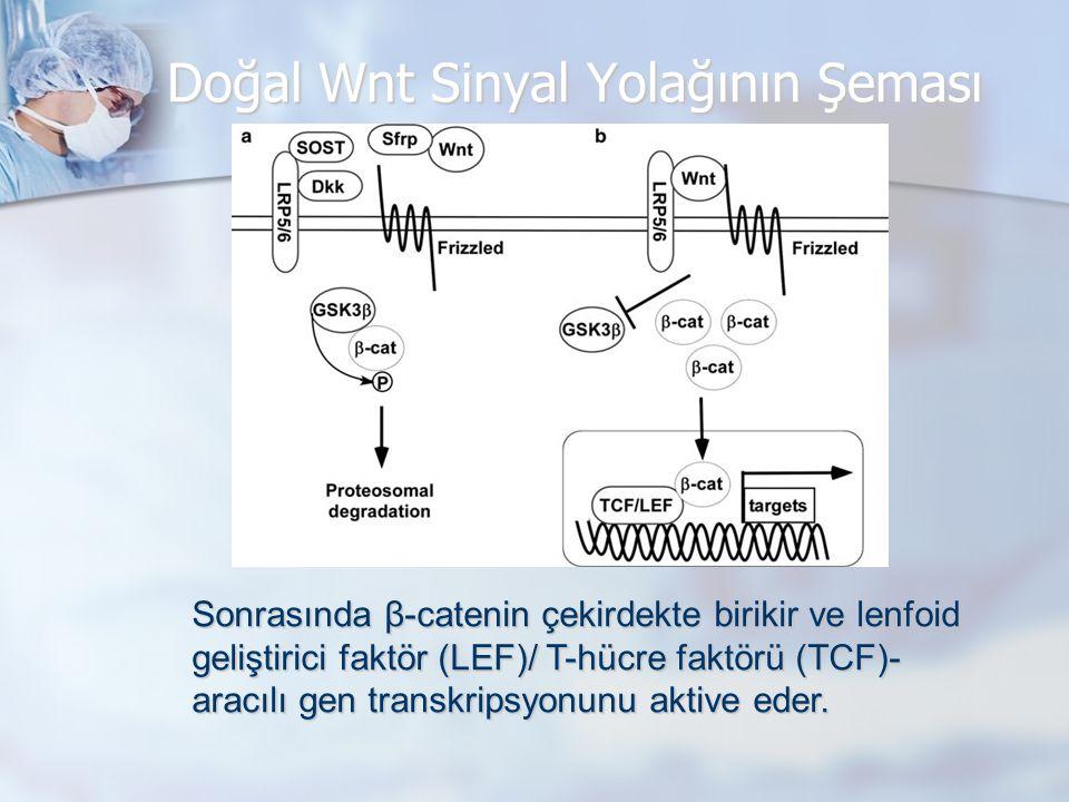 Doğal Wnt Sinyalinin Osteoblast Diferansiyasyonundaki Rolü Doğal Wnt sinyali mezenkimal progenitör hücrelerinin osteoblastlara dönüşümünü arttırırken kondrosit ve adiposit diferansiyasyonunu inhibe eder.
