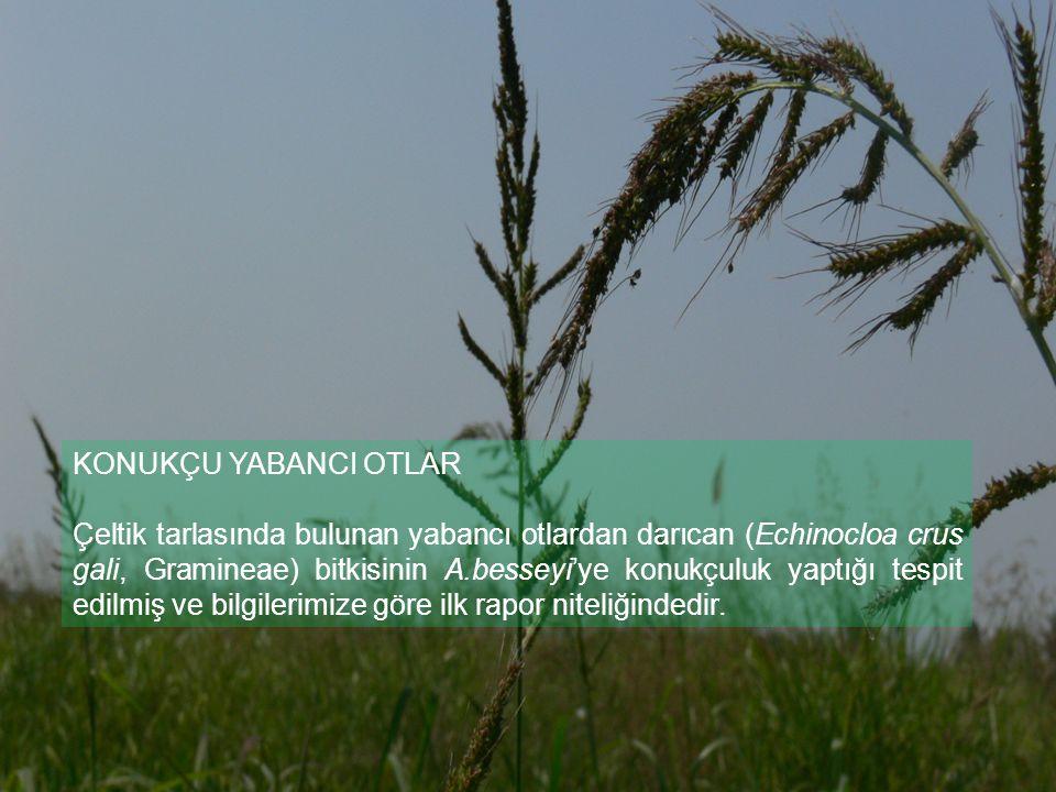 KONUKÇU YABANCI OTLAR Çeltik tarlasında bulunan yabancı otlardan darıcan (Echinocloa crus gali, Gramineae) bitkisinin A.besseyi'ye konukçuluk yaptığı