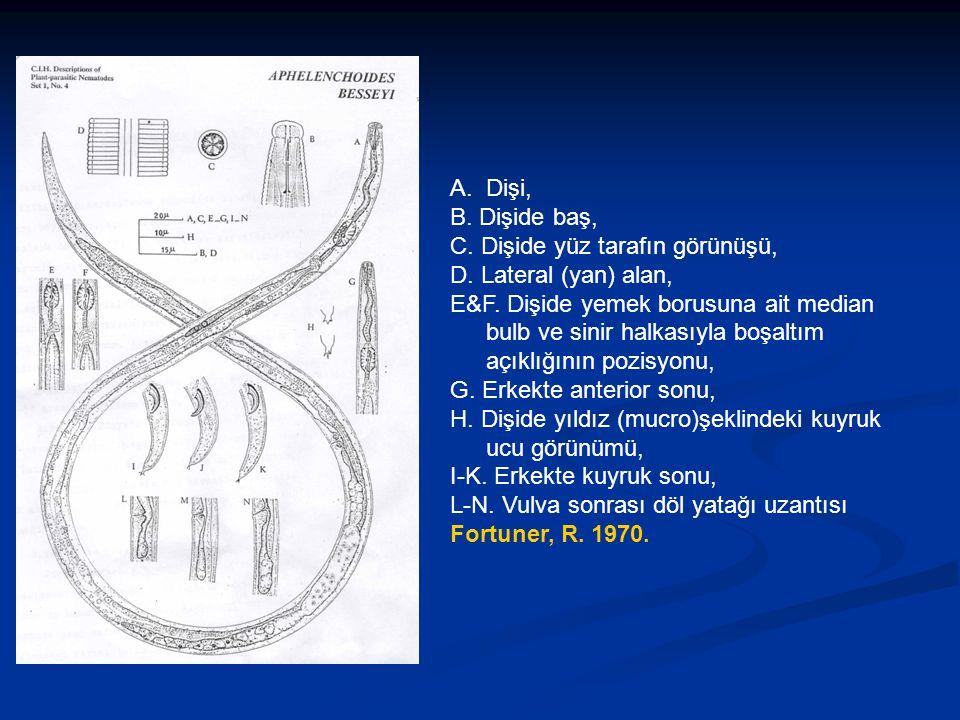 A.Dişi, B. Dişide baş, C. Dişide yüz tarafın görünüşü, D. Lateral (yan) alan, E&F. Dişide yemek borusuna ait median bulb ve sinir halkasıyla boşaltım