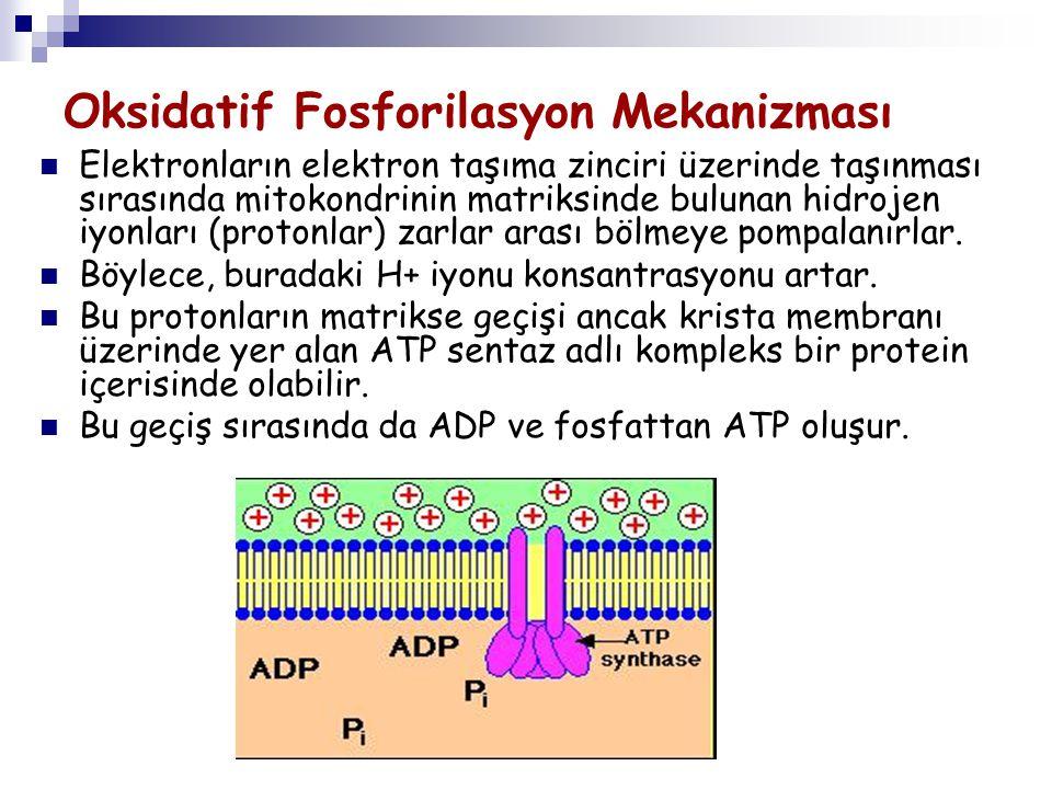 Oksidatif Fosforilasyon Mekanizması Elektronların elektron taşıma zinciri üzerinde taşınması sırasında mitokondrinin matriksinde bulunan hidrojen iyon