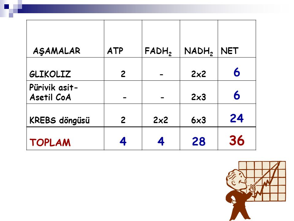 AŞAMALARATPFADH 2 NADH 2 NET GLIKOLIZ2 -2x2 6 Pürivik asit- Asetil CoA - -2x3 6 KREBS döngüsü22x26x3 24 TOPLAM 4428 36