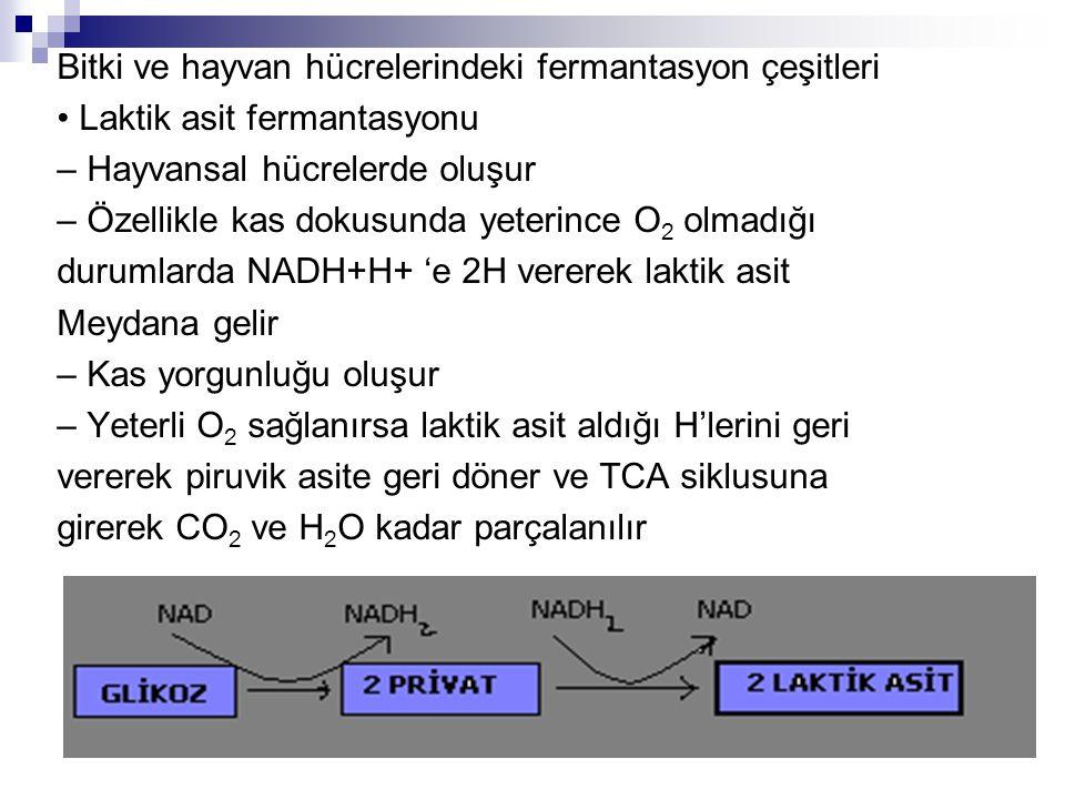 Bitki ve hayvan hücrelerindeki fermantasyon çeşitleri Laktik asit fermantasyonu – Hayvansal hücrelerde oluşur – Özellikle kas dokusunda yeterince O 2