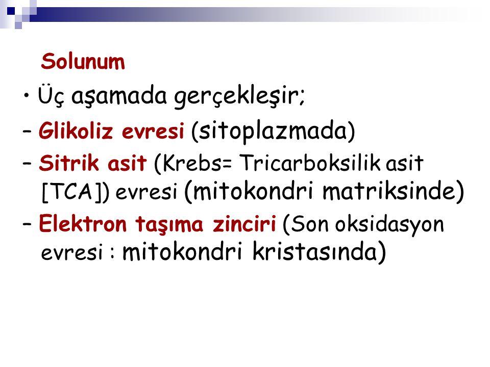 Solunum Üç aşamada ger ç ekleşir; – Glikoliz evresi ( sitoplazmada ) – Sitrik asit (Krebs= Tricarboksilik asit [TCA]) evresi (mitokondri matriksinde)