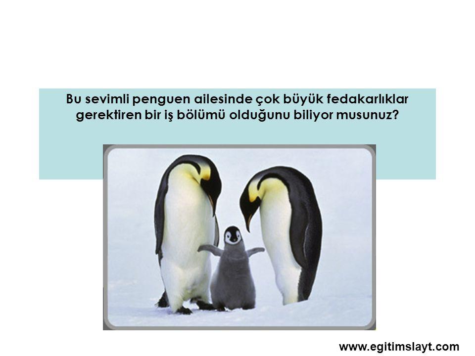 Dişi penguenler bir yumurta yumurtlar ve kuluçka görevini erkeklerine devredip denizlere açılırlar www.egitimslayt.com