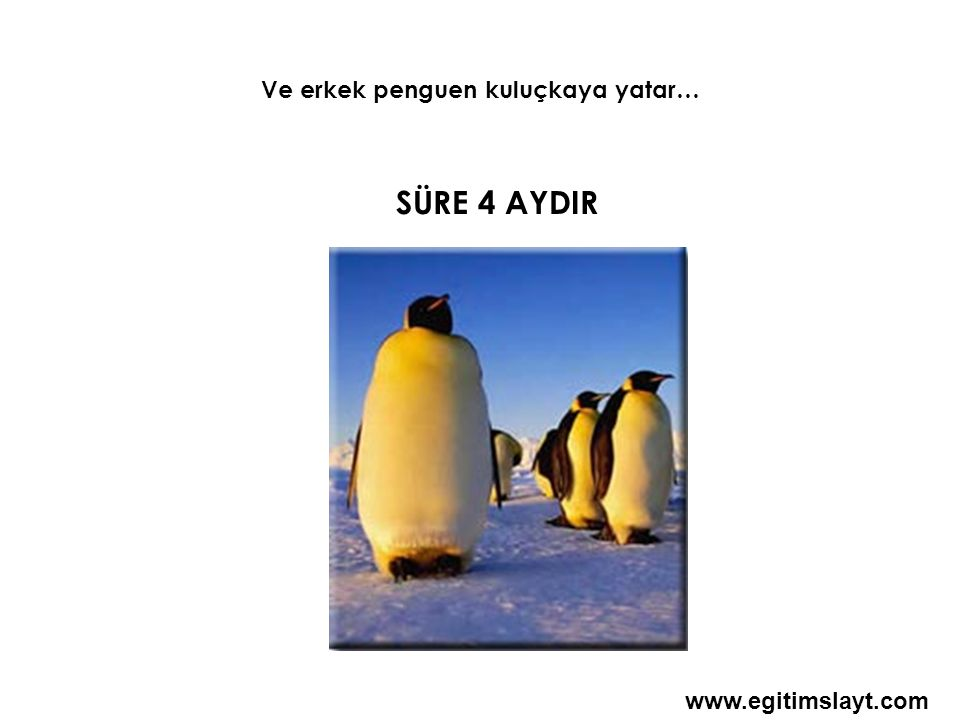 4 AY BOYUNCA Erkek penguen doğacak minik sevimli yavrusu için -40°C ye kadar düşen soğuğa göğüs gerer Hızı 120 km yi bulan kutup fırtınalara dayanır VE Aç kalır www.egitimslayt.com