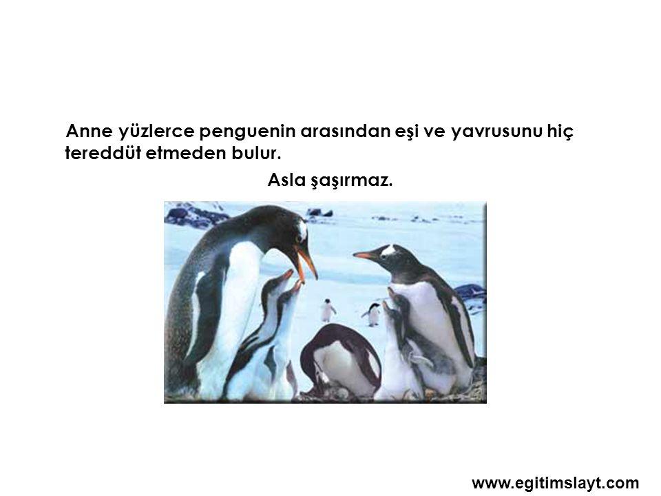Anne yüzlerce penguenin arasından eşi ve yavrusunu hiç tereddüt etmeden bulur.