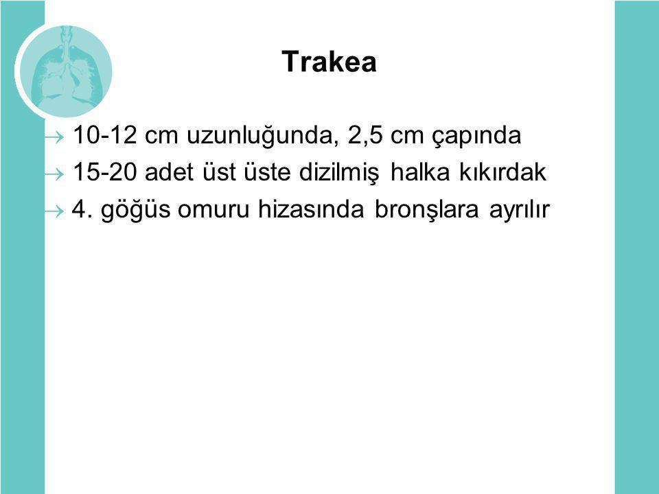 Trakea  10-12 cm uzunluğunda, 2,5 cm çapında  15-20 adet üst üste dizilmiş halka kıkırdak  4. göğüs omuru hizasında bronşlara ayrılır