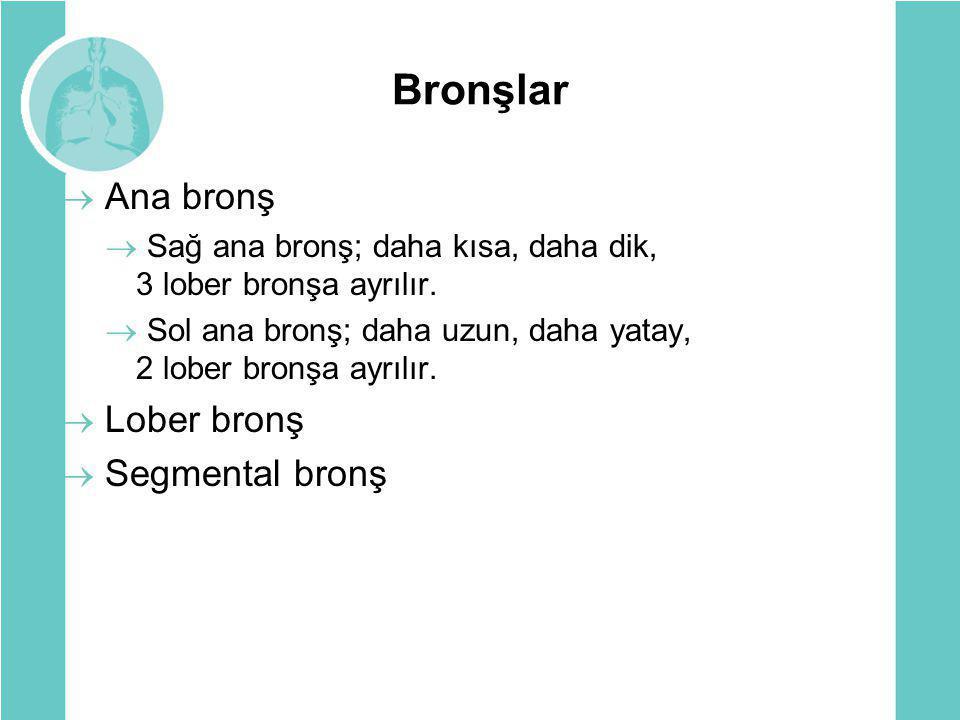 Bronşlar  Ana bronş  Sağ ana bronş; daha kısa, daha dik, 3 lober bronşa ayrılır.  Sol ana bronş; daha uzun, daha yatay, 2 lober bronşa ayrılır.  L