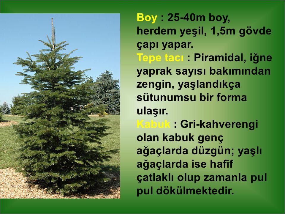 Boy : 25-40m boy, herdem yeşil, 1,5m gövde çapı yapar. Tepe tacı : Piramidal, iğne yaprak sayısı bakımından zengin, yaşlandıkça sütunumsu bir forma ul