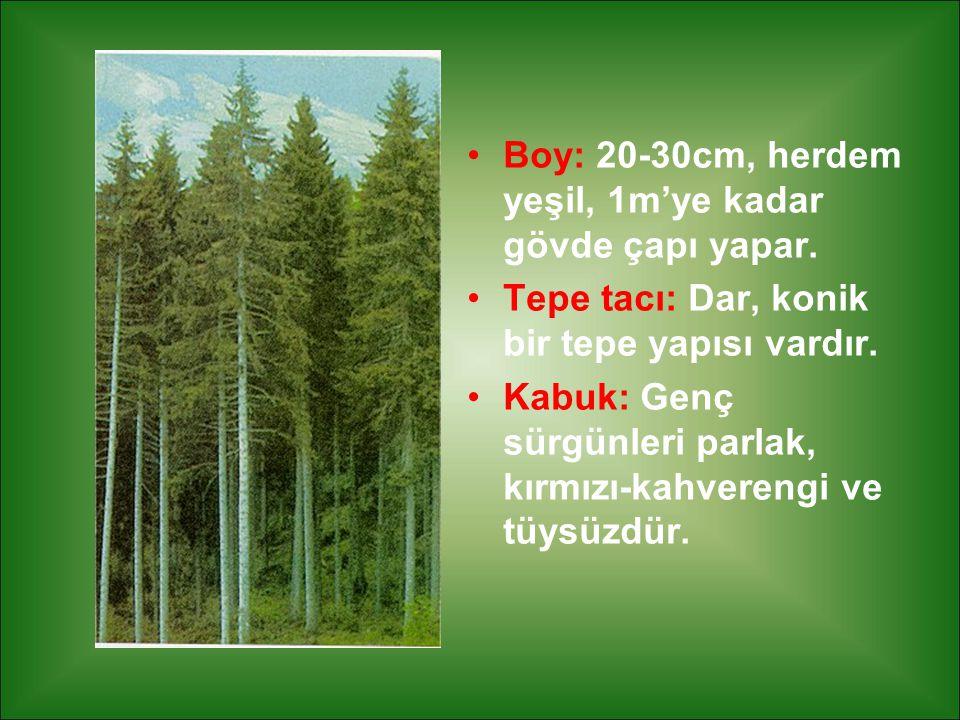 Boy: 20-30cm, herdem yeşil, 1m'ye kadar gövde çapı yapar. Tepe tacı: Dar, konik bir tepe yapısı vardır. Kabuk: Genç sürgünleri parlak, kırmızı-kahvere