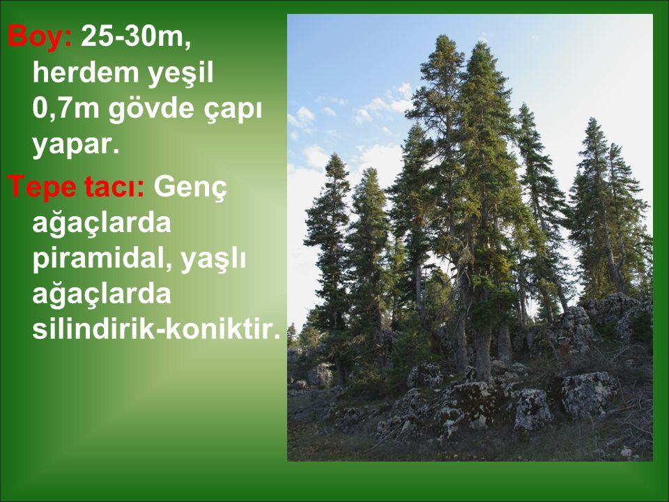 Boy: 25-30m, herdem yeşil 0,7m gövde çapı yapar. Tepe tacı: Genç ağaçlarda piramidal, yaşlı ağaçlarda silindirik-koniktir.